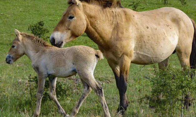 Przewalski, le cheval des peintures rupestres