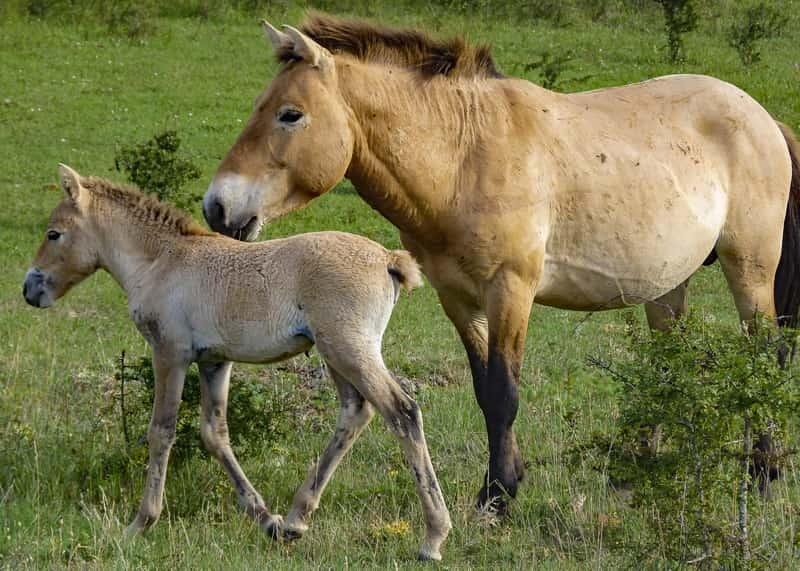 cheval przewalski 2